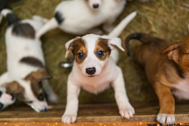 Breeder granted licence to farm puppies with up to 42 dogs allowed on site