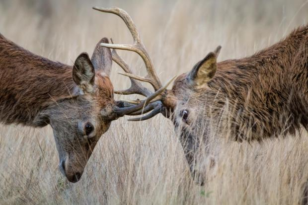 Ayr Advertiser: Deer Rutting. Picture: Getty