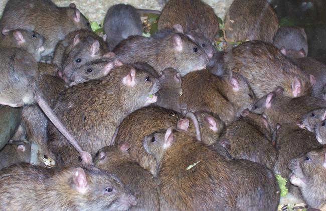 Neighbourhood in Patna infested with rats